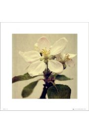 Apple Blossom Single - plakat premium