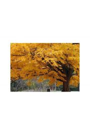Beautiful Fall Color Tree - plakat premium