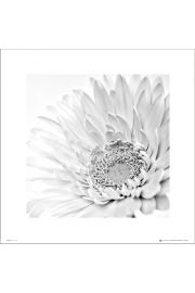 White Gerbera Close Up - plakat premium
