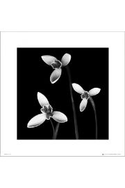 3 Flowers Black & White - plakat premium